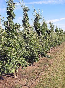 Moderne perenboomgaard
